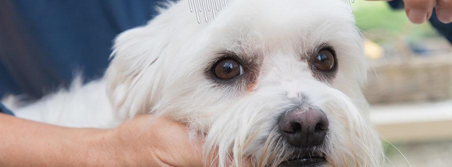 White dog showing apprehension