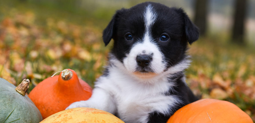 Black and white puppy in field with pumpkins and fall leaves