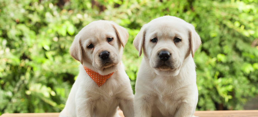 Cute labrador puppy dogs sitting on wooden desk looking in camera - green foliage background