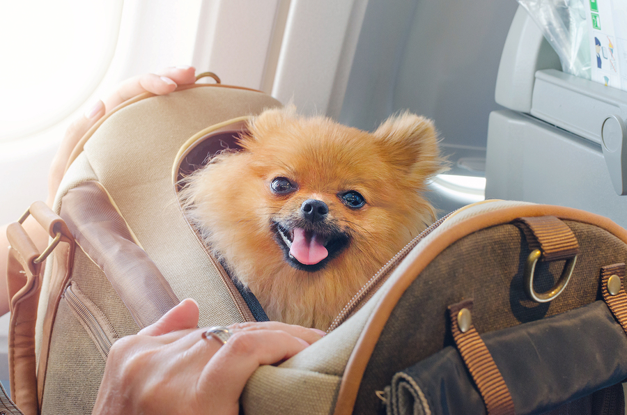small dog pomaranian spitz in a travel bag on board plane