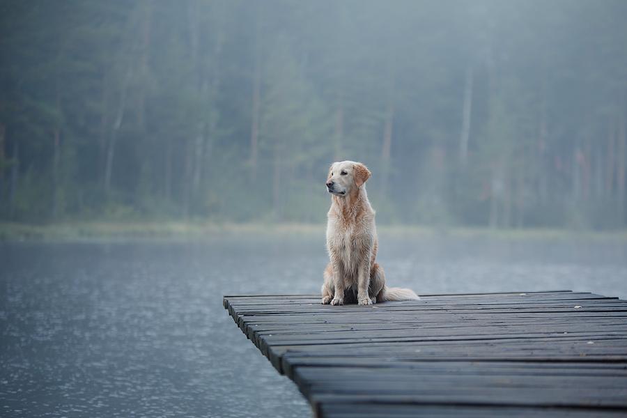 Golden Retriever Dog on dock
